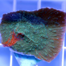 Montipora grafted