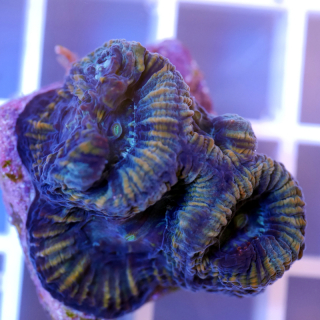 Favia blautürkis-braunrote Hirnkoralle